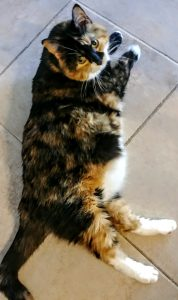 photo of Miss Cali, the calico cat