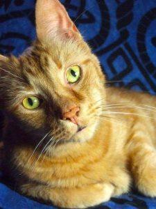orange cat named Dax