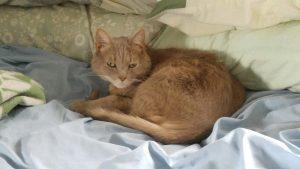 Cat, Sahara, beige cat