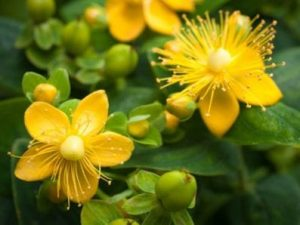 close up of St. Johns Wort flowers